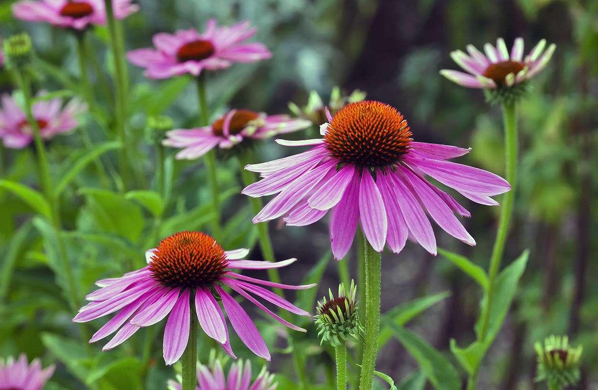 Sostenere naturalmente il nostro sistema immunitario con l'Echinacea